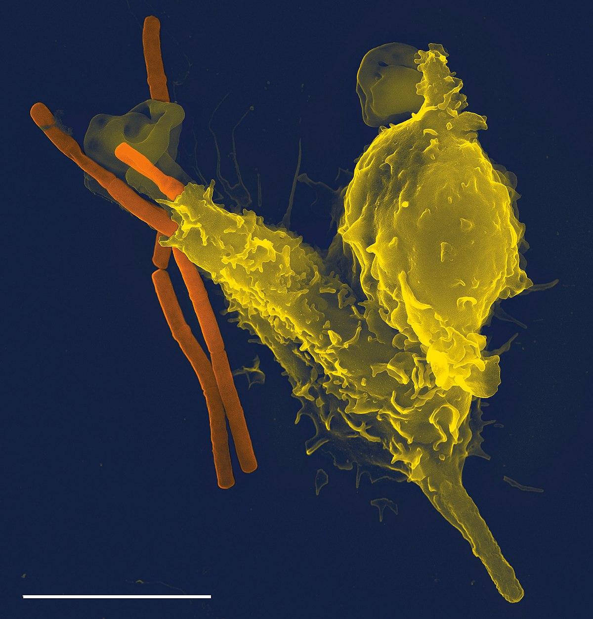 helmint és immunrendszer