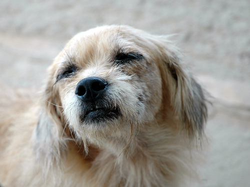 szemhéj papilloma kutyák