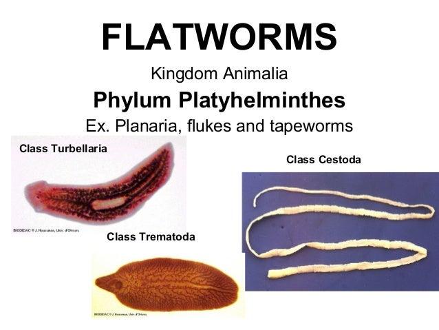 fonálféreg ppt phylum platyhelminthes