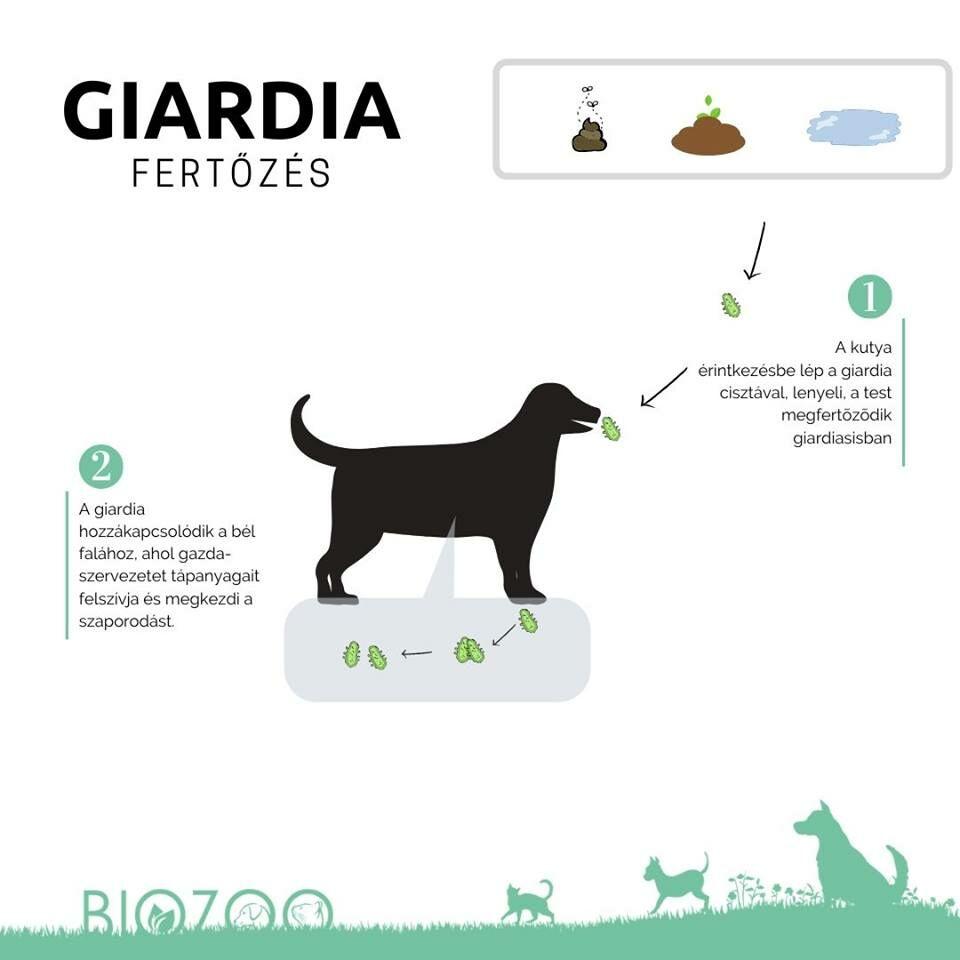 giardia fertőzés mit kell enni)
