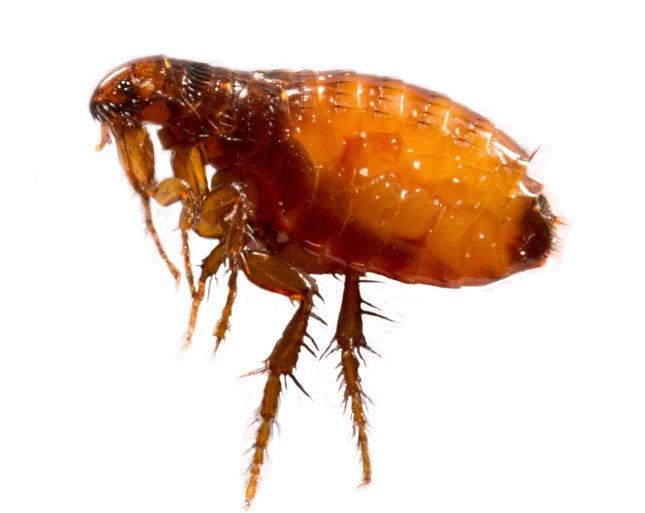 Nekrotróf paraziták példák