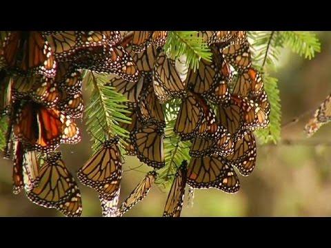 nyaki platyhelmint pillangók papilloma hogyan kell kezelni