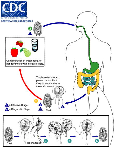 a giardia életciklus-diagramja