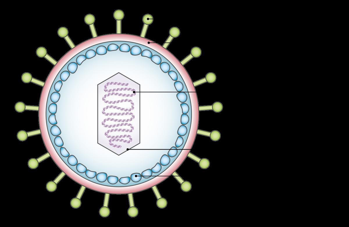 potenciálisan onkogén humán genitális papillomavírus DNS