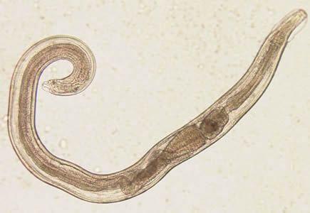 Filo platyhelminthes turbellaria.
