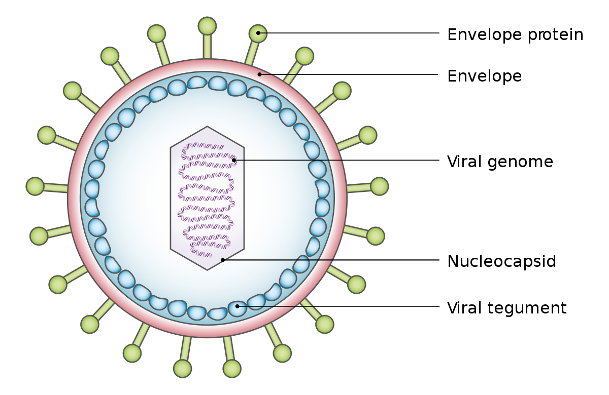 papilloma vírus ember inkubációja