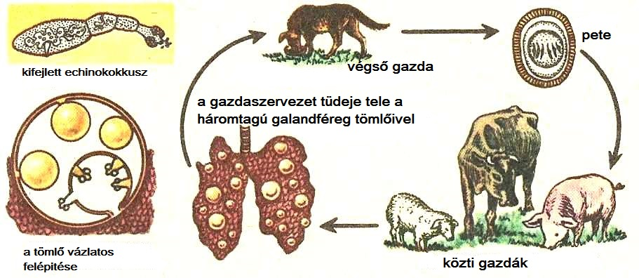 parazita fajok laposférgekkel