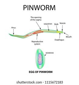 mit jelent a pinwormok)