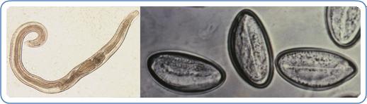 Enterobiasis gyógyszeres megelőzés