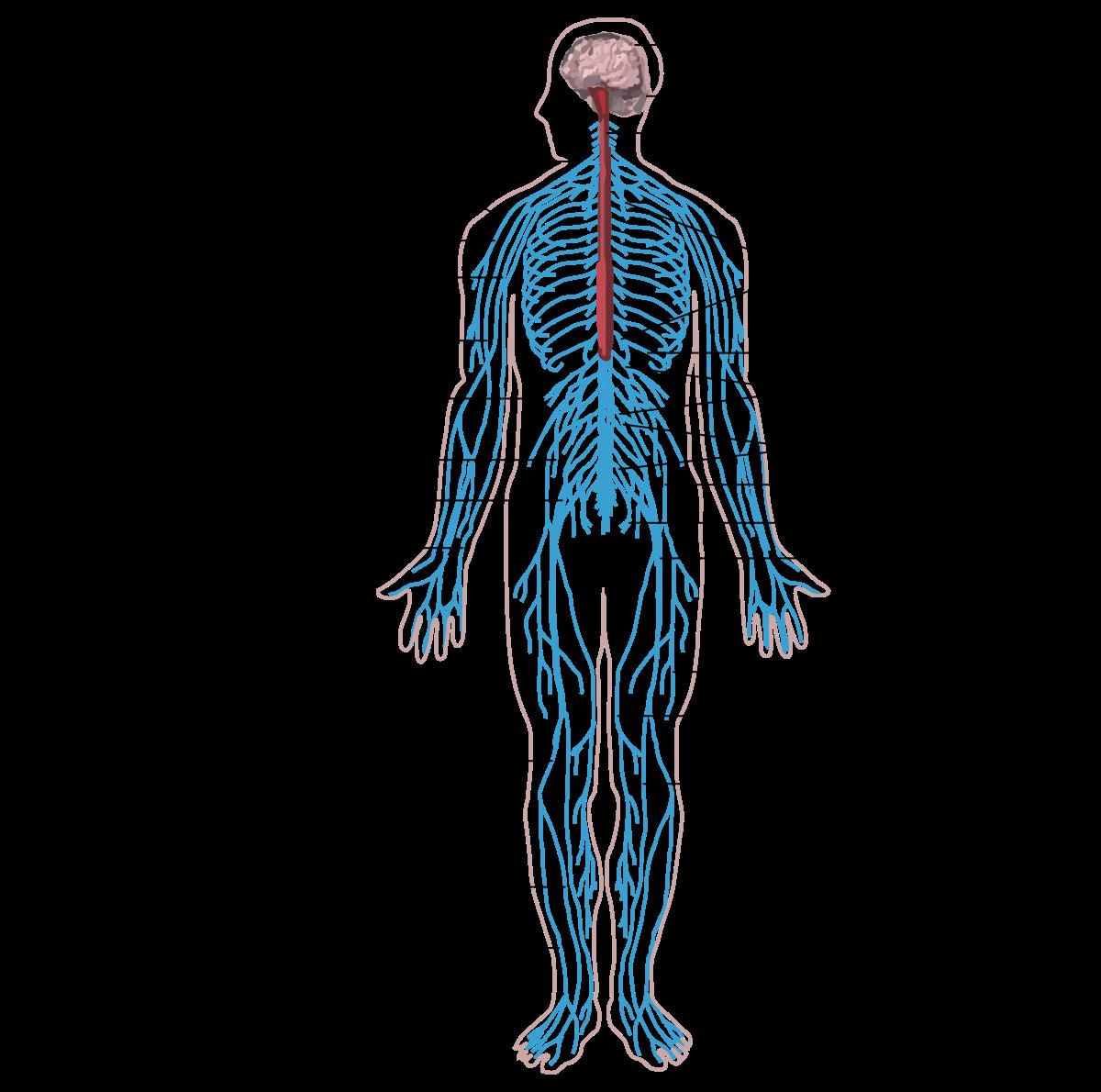 Típusú paraziták az emberi test kezelésében. Bélférgesség tünetei és kezelése - HáziPatika