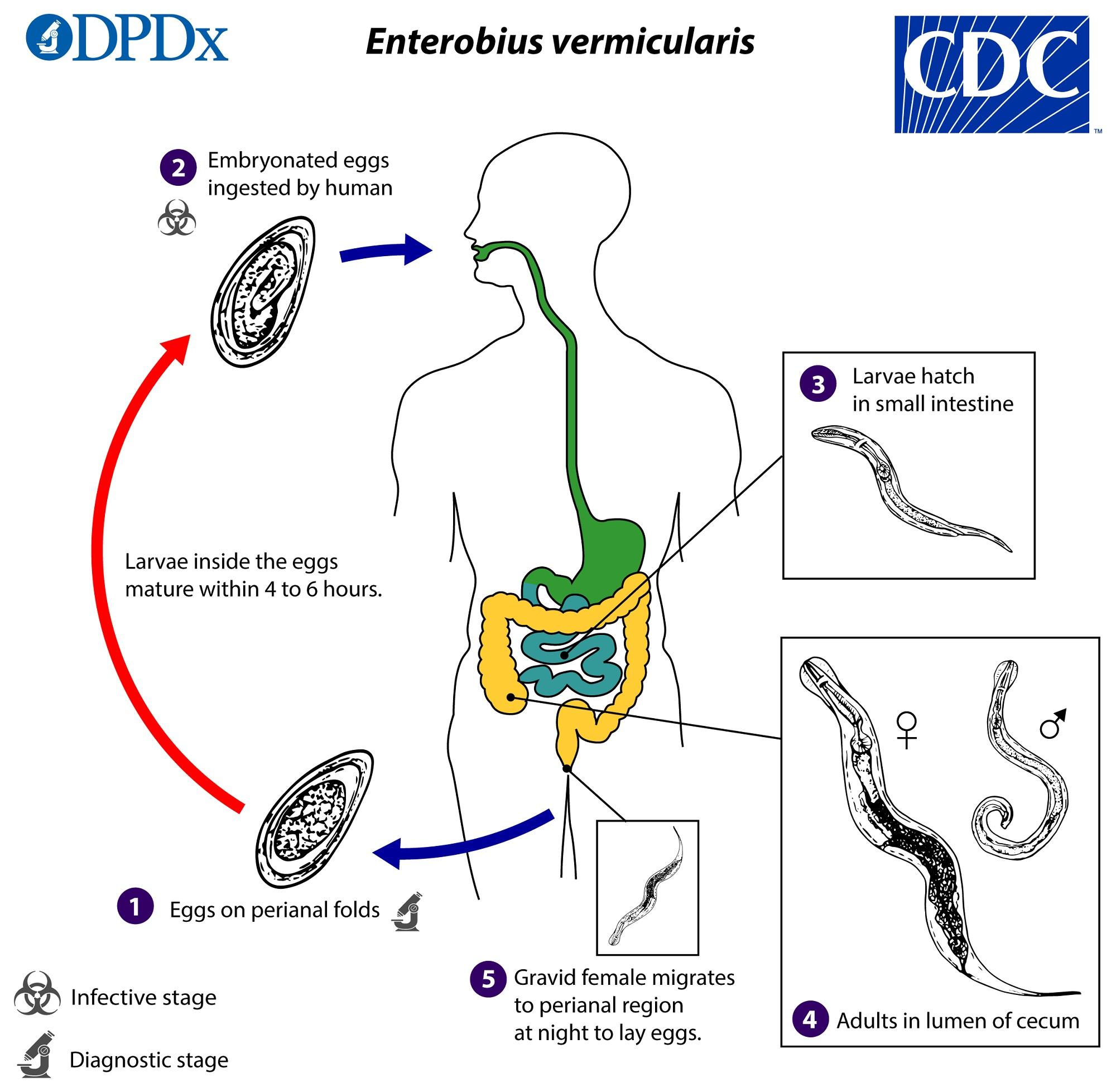 enterobius vermicularis tojás címkézett ábra)