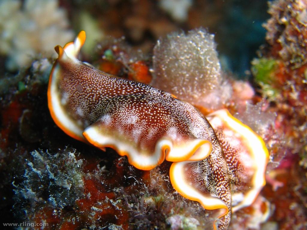 Platyhelminthes turbellaria - ifal60.hu