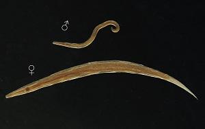 enterobius vermicularis objawy over the counter krém hpv szemölcsök