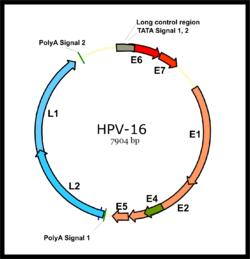 hpv életciklus
