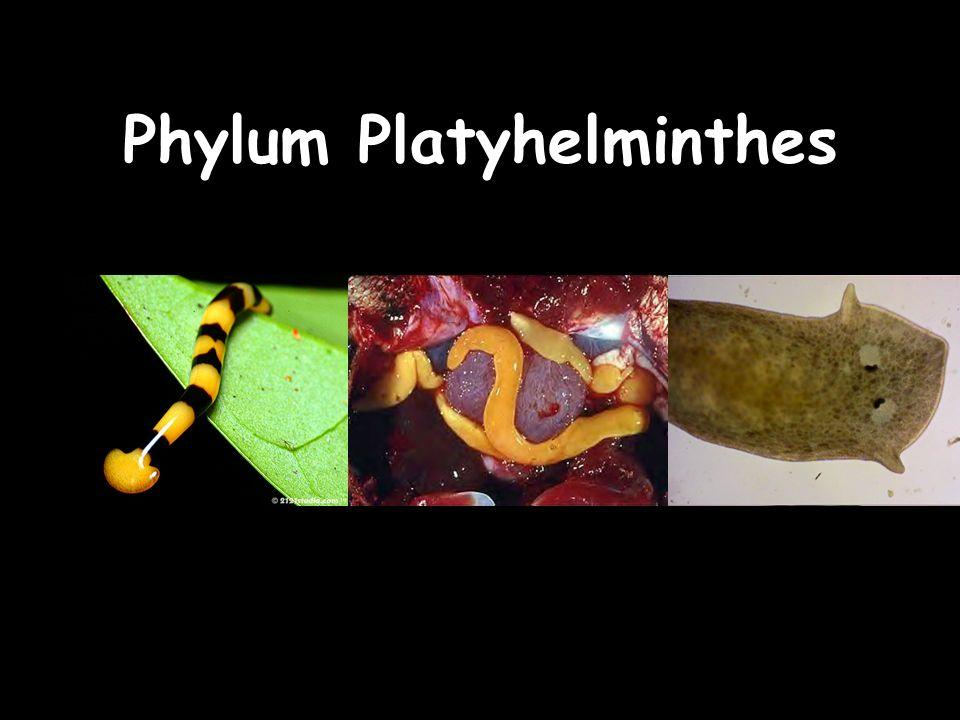 fonálféreg ppt phylum platyhelminthes)