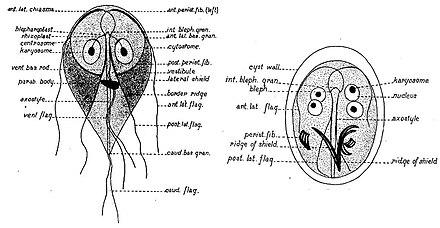 modern giardiasis)