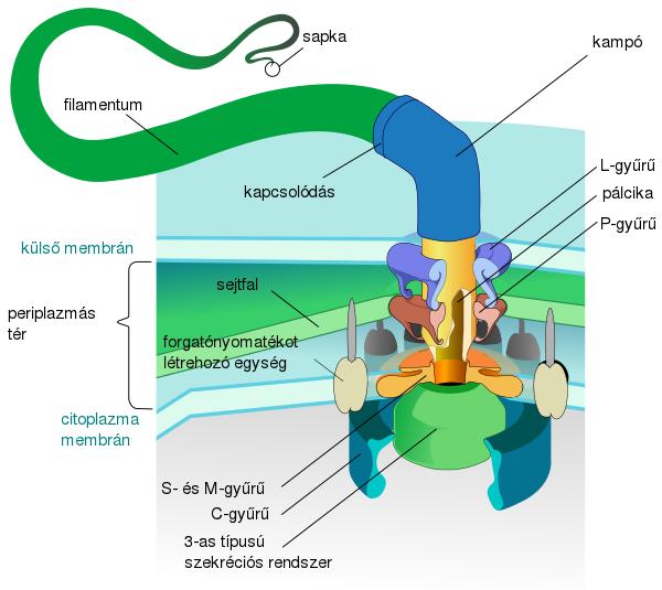 a baktériumok sejtszerkezete)