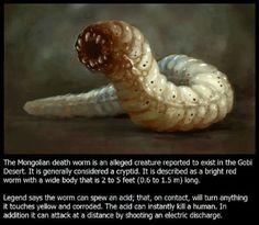 a féreg pinworm)
