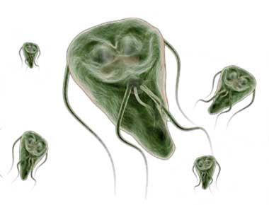 giardien mensch behandeln hogyan lehet eltávolítani a parazitákat a vesékből