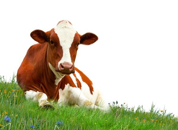 a szarvasmarha-galandféreg fertőzést okoz