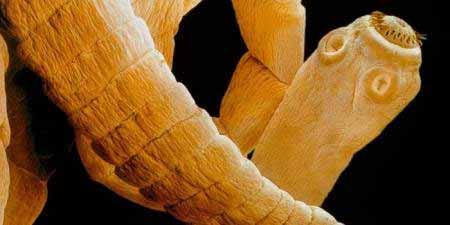 galandféreg kórokozója