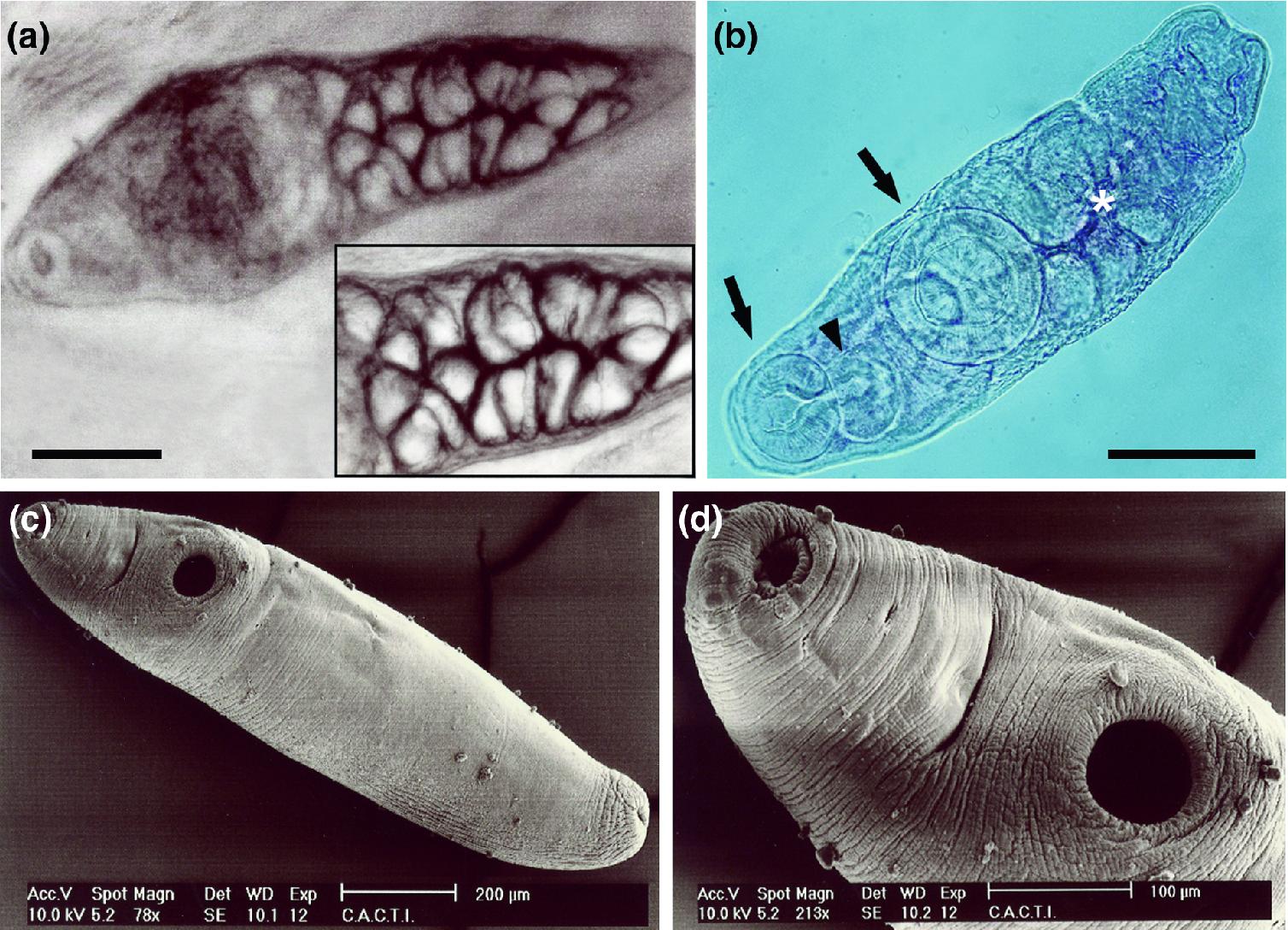 metazoa protozoon paraziták