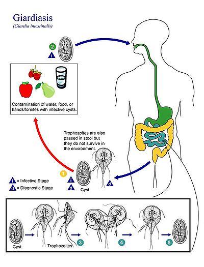 a giardia duodenalis diagnózisa platyhelminthes ectotherm vagy endotherm