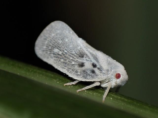édes parazita)