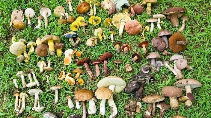 gomba gombák