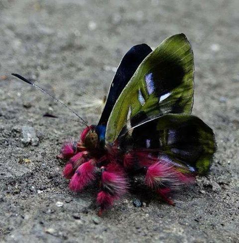 pillangó zeugma öltözködési szabály)