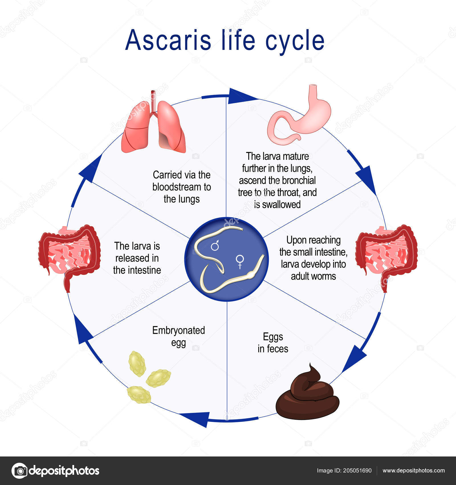 helmint életciklus-diagram