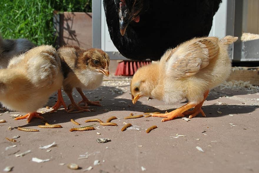 miért csirkék férgekkel