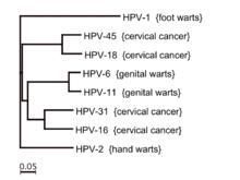 papilloma vírus 16 emberi rákos papillomavírus vírus