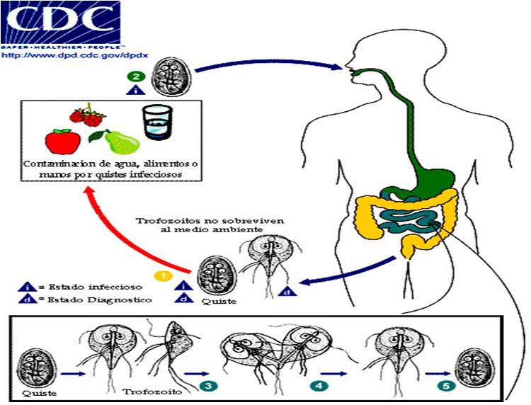 morfológia giardiei duodenalis