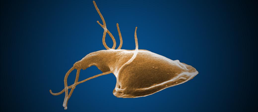 parazita giardia és terhesség